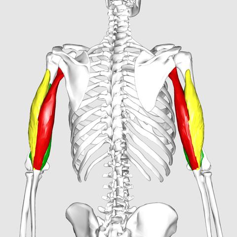 Triceps brachii muscle anatomy agonist biceps