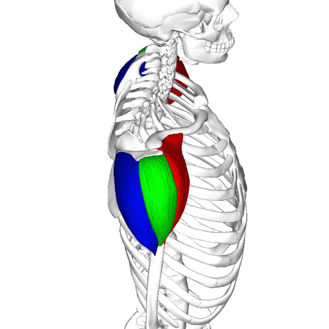 deltoid anatomy posterior anterior lateral image skeleton delts deltoideus