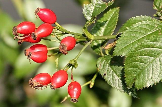 green tea coffee extract rose hip burn fat boost metabolism no caffeine