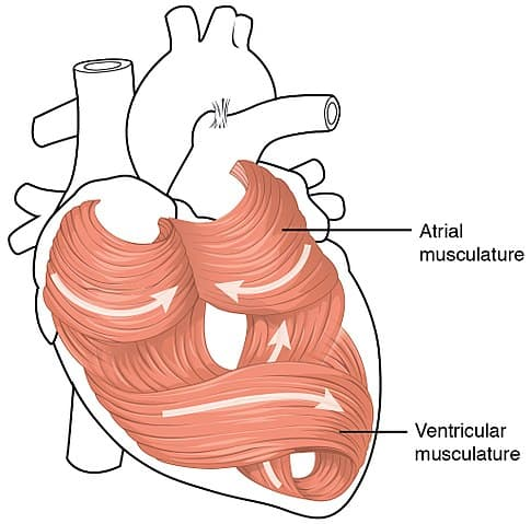 heart muscle catabolism weak failure cardiac musculature