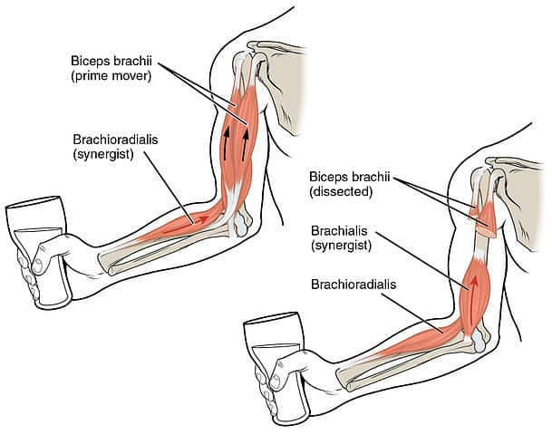 muscles worked out by hammer curls include brachioradialis brachialis and biceps