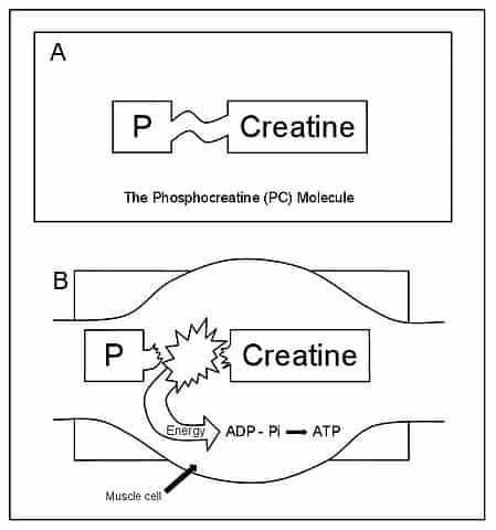 Phosphocreatine cycle diagram ATP ADP recycling muscle energy